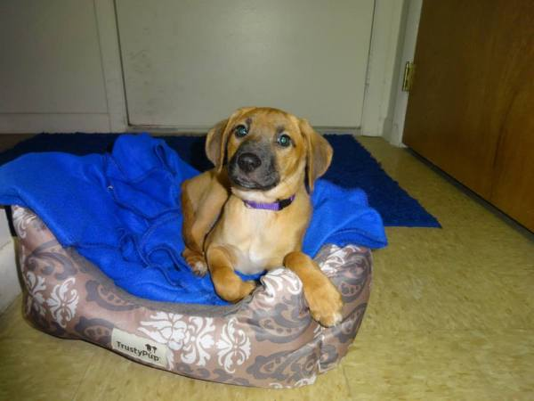 Tan puppy with dark muzzle in dog bed.