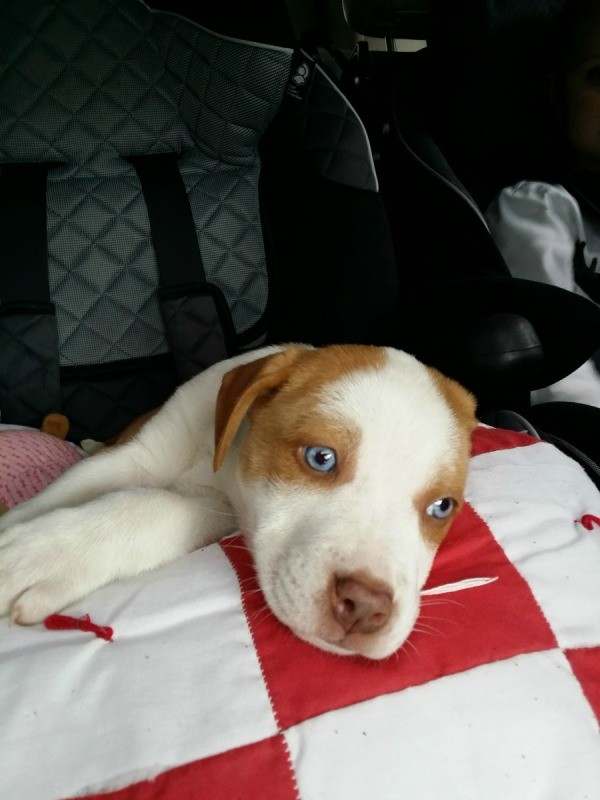 Brown and white puppy with blue eyes.