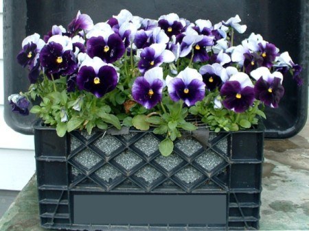 Buying Markdown Pansies