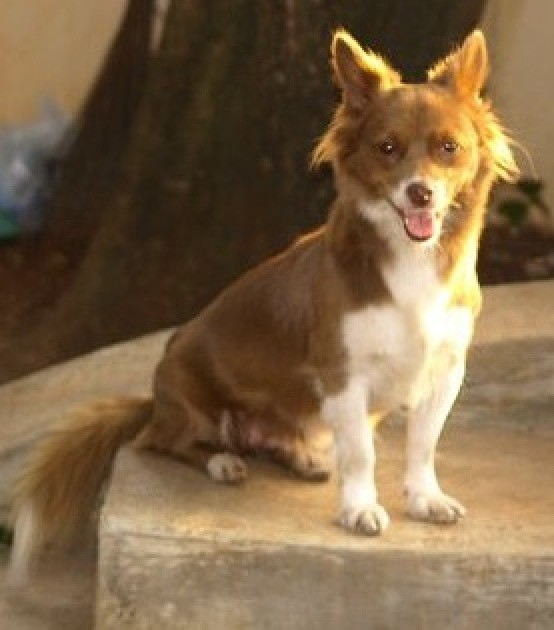 Small brown and white dog with medium hair and fluffy tail.