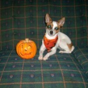 Izzy Bella (Rat Terrier)
