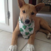Brown puppy with shamrock scarf.