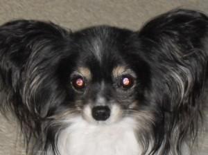Chihuahua Won T Eat Dog Food