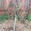 Transplanted avocado tree.