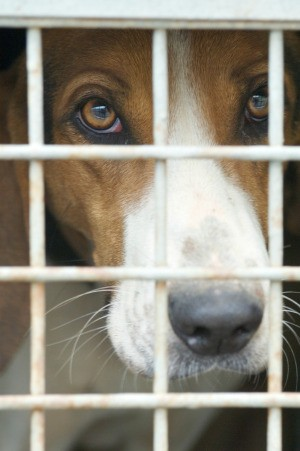 A dog in a kennel at the pound.