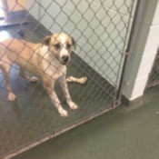 Dog in shelter pen.