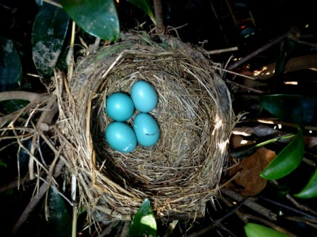 Four robin's eggs in nest.