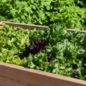 Vegetables growing in a raised bed.