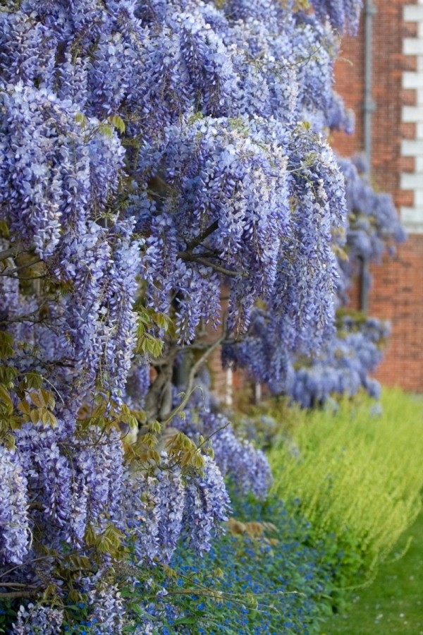 Growing wisteria thriftyfun for The wisteria