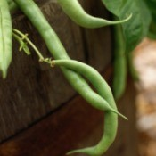 Growing Green Beans
