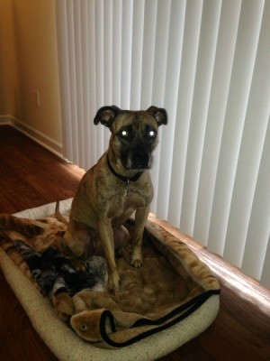 Brindle dog sitting on dog bed by window