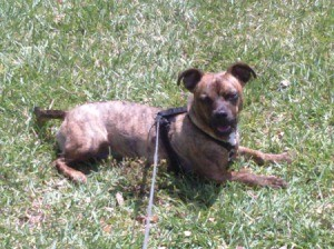 Brindle dog lying in the grass