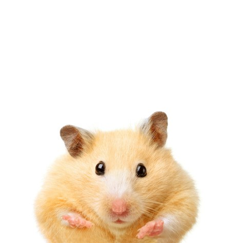 Photo of a cute hamster.