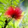 Callistemon (Bottle Brush)