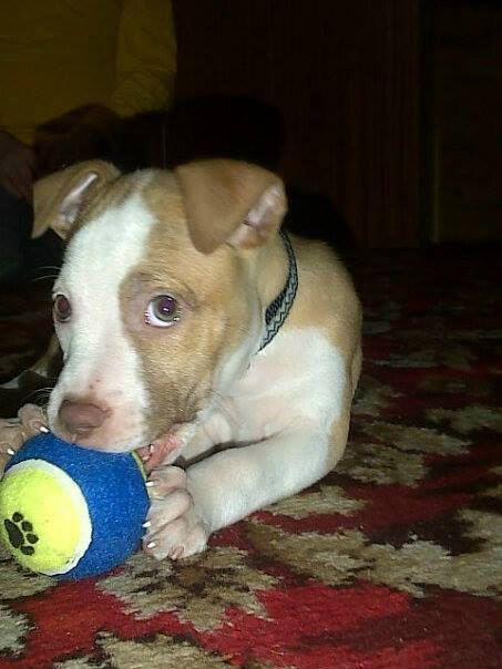 dog with blue and yellow ball