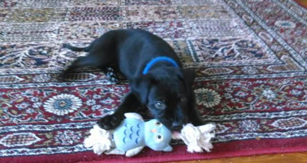 puppy lying down with toy