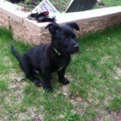 black puppy in yard