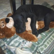black puppy asleep with a brown Teddy bear