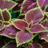 Beautiful photo of Coleus up close.