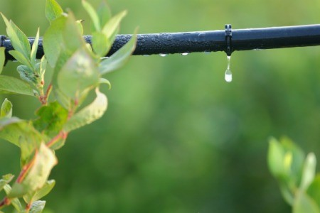 Watering a gardening with drip irrigation.