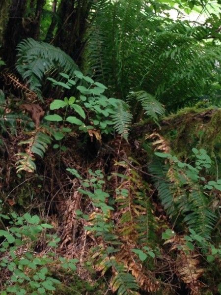 Sword fern in Oregon