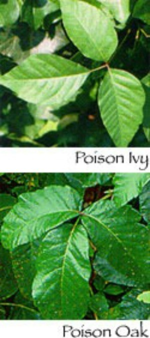 Poison Ivy and Poison Oak