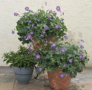 Geranium Rozanne The 2008 Perennial Plant Of The Year