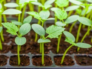 Cucumber seedlings ready to plant.