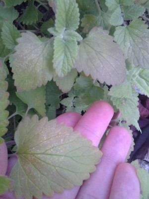 reddish leaves on catnip plant