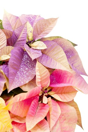 dyed pastel poinsettias with glitter