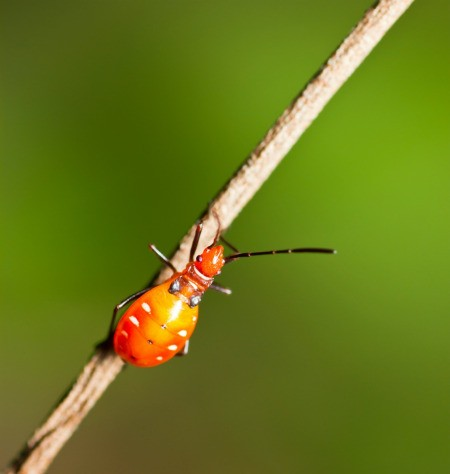 Tiny Orange Bug