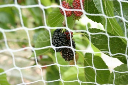 Berries Behind Bird Netting