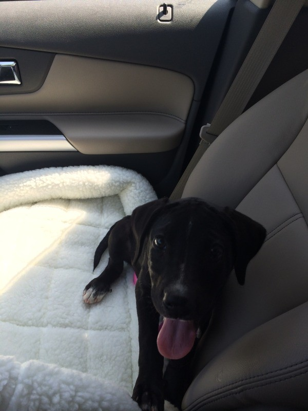 puppy lying on car seat panting
