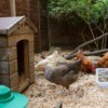 chickens in their pen