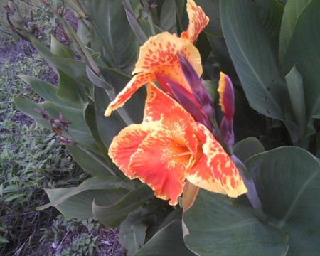 An orange and yellow canna lily.