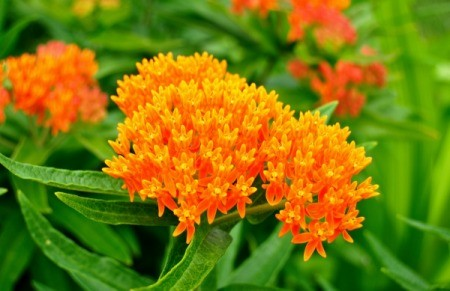 bright orange butterfly weed flowers