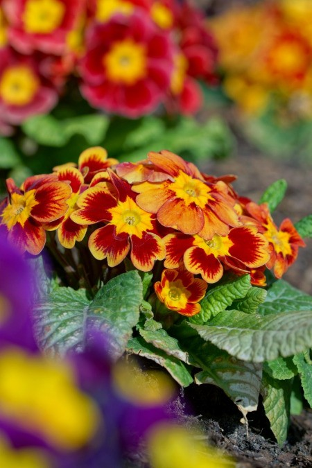 reddish orange and yellow primrose flowers