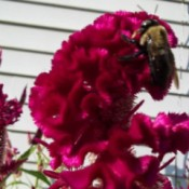 Closeup of bee on celosia flower.