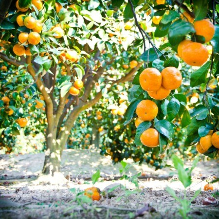 citrus tree in garden