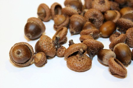 acorns for crafts