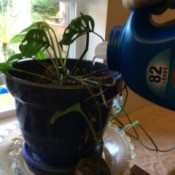 watering a houseplant