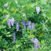 wisteria on chainlink fence