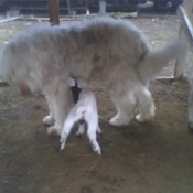 dog and baby goat