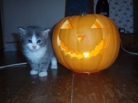 cute gray and white kitten next to Jack O' Lantern
