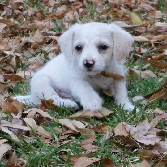 white puppy outside