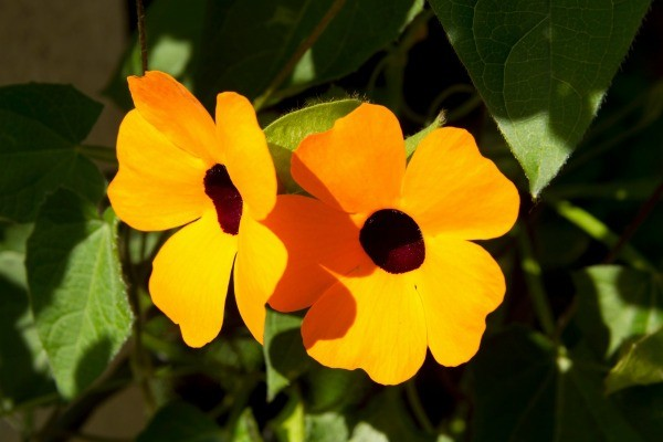 Growing Clock Vine Thunbergia Thriftyfun
