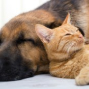 orange tabby resting its head on a sleeping dog