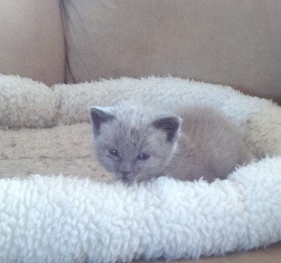 grey female kitten