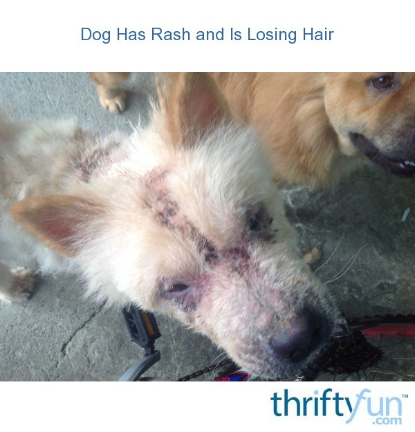 Dog Has Rash And Is Losing Hair Thriftyfun