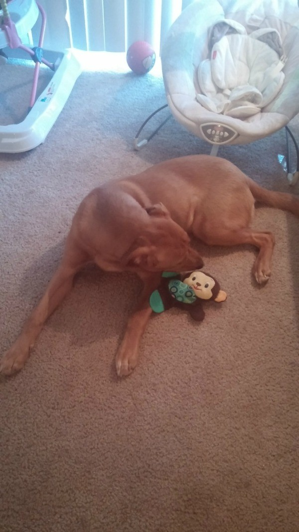 brown dog with toy